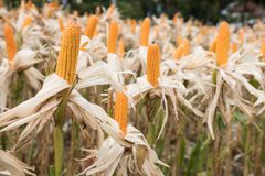 Sweet yellow corn in farm. maize cob. crop in agriculture indust Royalty Free Stock Photos