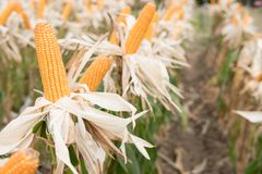 Sweet yellow corn in farm. maize cob. crop in agriculture indust Stock Photo