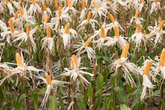 Sweet yellow corn in farm. maize cob. crop in agriculture indust Stock Photos