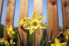 Sweet Yellow Daffodil. Daffodils closeup in Ireland near Newgrange Royalty Free Stock Photo