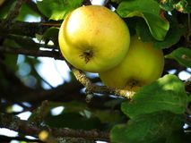Sweet yellow garden apples Royalty Free Stock Photo