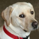 Sweet Yellow Lab. Close-up of expressive Yellow Lab Royalty Free Stock Photos