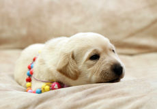 Sweet yellow labrador puppy portrait in colour beads Stock Photo