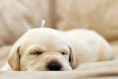 Sweet yellow labrador puppy portrait sleeping Stock Photos