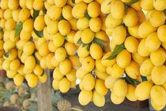 Sweet yellow Marian plum Stock Images