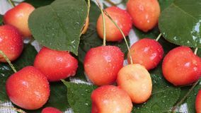 Sweet yellow red cherries with water drops and tree branch. Sweet fresh yellow cherries with water drops and tree branch with green leaves. Healthy food or ripe stock video