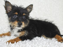 Sweet Yorki-Pom Puppy Royalty Free Stock Photo