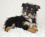 Sweet Yorki-Pom Puppy Stock Photos