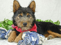 Sweet Yorkie Mix Dog Stock Images