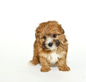 Sweet Yorkie-Poo Puppy Royalty Free Stock Photos