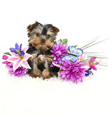 Sweet Yorkie Puppy stock images