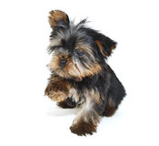 Sweet Yorkie Puppy Royalty Free Stock Photos