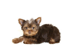 Sweet Yorkie Puppy Stock Photography