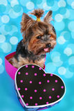 Sweet yorkshire dog sitting in heart shaped box. Sweet yorkshire terrier dog sitting in heart shaped box on blue background Royalty Free Stock Image