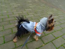 Sweet young female Silky Terrier in various colorful jackets royalty free stock image