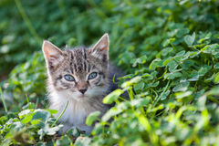 Sweet young kitten in the grass among the clover Stock Image