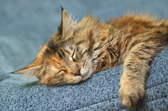 Sweet young maine coon cat while sleeping Royalty Free Stock Photo