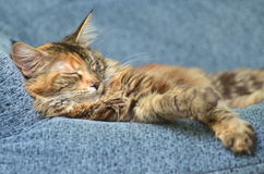 Sweet young maine coon cat while sleeping Royalty Free Stock Images