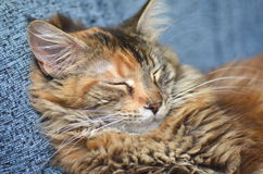 Sweet young maine coon cat while sleeping Royalty Free Stock Photos