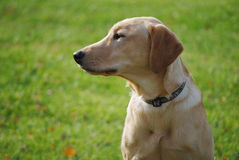 Sweet Young Thing. Young yellow labrador retriever in profile watches something outside of the frame Royalty Free Stock Image