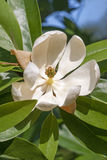 Sweetbay magnolia flower Stock Photography