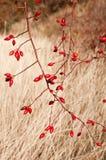 Sweetbriar Rose (Rosa rubiginosa) Hips Royalty Free Stock Image