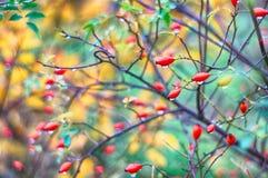 Sweetbrier куст красочный стоковые фото