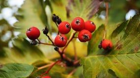 Sweetbrier entre os ramos Imagens de Stock