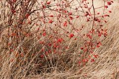 Sweetbrier nam (Rosa rubiginosa) Heupen toe stock afbeeldingen