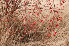 Sweetbrier Rose (Rosa rubiginosa) Hips Stock Images