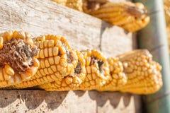Sweetcorn—Closeup av majskolvar i trähavrelagring för gammal stil arkivbild