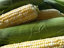 Sweetcorn. Agriculture close corn crop farm farming food grow industry organic sweetcorn stock photo