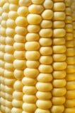 Sweetcorn Cob Close Up Stock Images