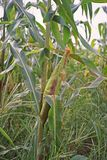 Sweetcorn cob in production field Stock Image