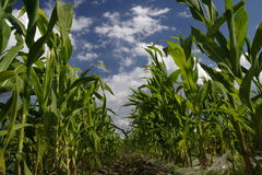 Sweetcorn Field. Sweetcorn - landscape royalty free stock photo
