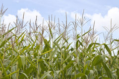 Sweetcorn field Stock Image