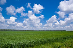 Sweetcorn field. Under a patchy sky in Bulgaria Stock Photos