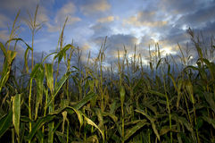 Sweetcorn field Royalty Free Stock Image