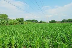 Sweetcorn field Royalty Free Stock Images