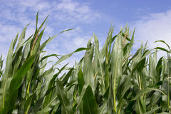 Sweetcorn Growing in a Field Stock Images
