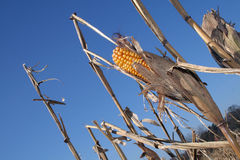 Sweetcorn maize Royalty Free Stock Photos