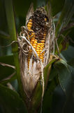 Sweetcorn Royalty Free Stock Images