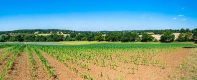 Sweetcorn plants grwoing on the field Stock Photo