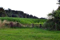 Sweetcornlandskap Arkivfoton