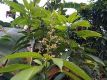 The sweetest mango in Thailand. Sweetest mango thailand flowers fruits stock photo