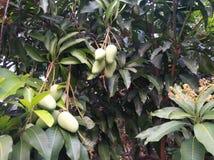 The sweetest mango in Thailand. Sweetest mango thailand flowers fruits stock photos