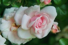 Antique rose bush in blush pink. The sweetest of shell pink touches these antique roses and buds as they sway among verdant spring foliage Stock Photography