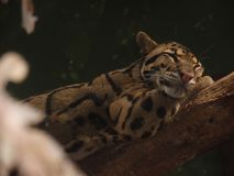 The sweetest tiger in the world. Lying on some three stock photo
