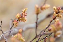 Sweetgale de florescência, vendaval do Myrica fotos de stock royalty free