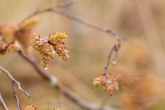 Sweetgale de florescência, vendaval do Myrica foto de stock